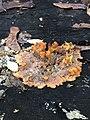 Phlebia radiata 58275042.jpg
