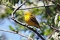 Photo of the Week - Yellow warbler at Trustom Pond Refuge (RI) (5710407508).jpg