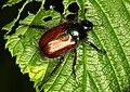 Phyllopertha-horticola-gartenlaubkäfer.jpg