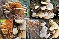 Phyllotopsis nidulans (Orange Mock Oyster or Orange Oyster, D= Orangeseitling, F= Pleurote en nid, Syn. Pleurote nid d'oiseau, NL= Oranje oesterzwam) pink spores and unknown wooddecaying, in several developmentstadia - panoramio.jpg