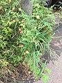 Physalis angulata, Taichung, Taiwan.jpg
