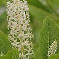 Phytolacca acinosa-IMG 4251.jpg