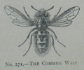 Picture Natural History - No 271 - The Common Wasp.png