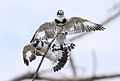 Pied Kingfisher, Ceryle rudis at Pilanesberg National Park, South Africa (15990290312).jpg