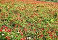 PikiWiki Israel 28683 Anemones Field.jpg