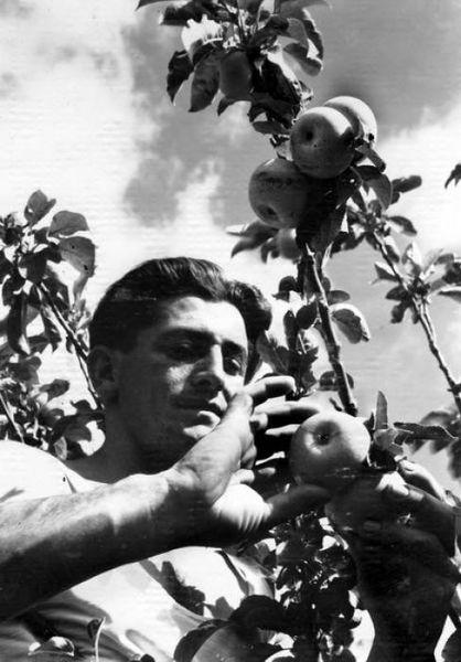 קטיף תפוחי עץ
