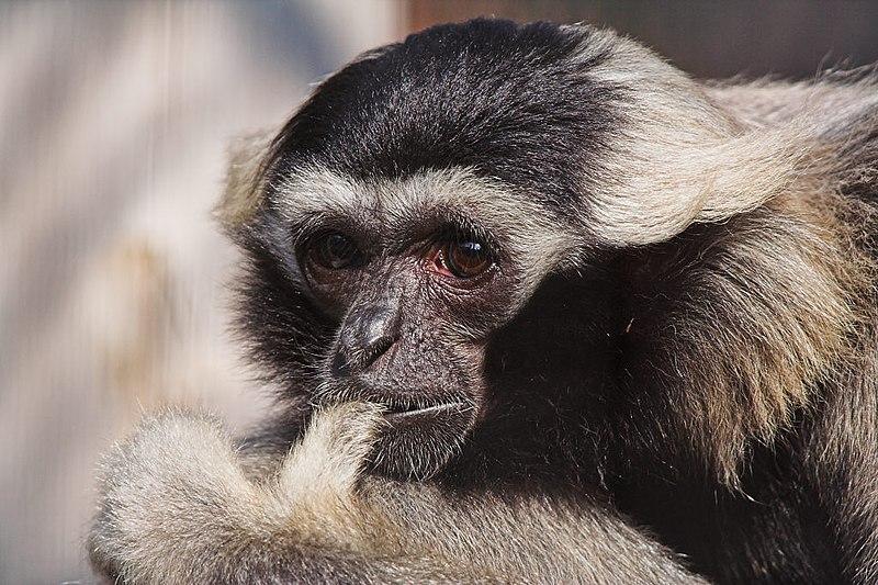 Archivo:Pileated Gibbon (Hylobates pileatus).jpg