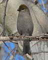 Pine Grosbeak, female.jpg