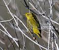Pine Warbler (Dendroica pinus) 1573004755.jpg