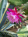 Pink Epiphyllum (3424271073).jpg