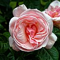Pink rose bloom of a climbing rose at Boreham, Essex, England 3.jpg