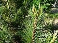 Pinus gerardiana India10.jpg