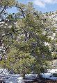 Pinyon pine.JPG