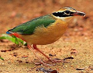 Bengalenpitta (Pitta brachyura)