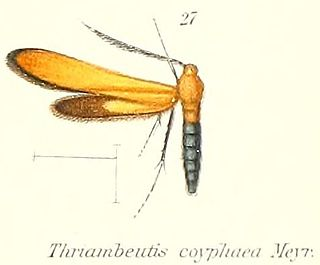 <i>Thriambeutis coryphaea</i> species of insect