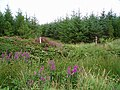 Plantation and purple loosestrife - geograph.org.uk - 219541.jpg