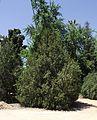Platycladus orientalis 1.jpg