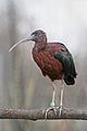 Plegadis falcinellus -Diergaarde Blijdorp-8a.jpg