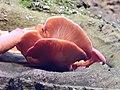 Pleurotus ostreatus 107442291.jpg