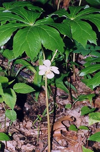 Podophyllum - Image: Podophyllum peltatum