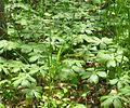Podophyllum peltatum - mayapple - desc-patch in woods.jpg
