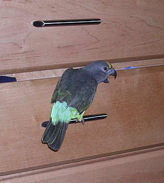 Wing clipping - A wing clipped Meyer's parrot perching on a drawer handle.