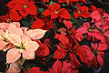 Poinsettia thumbnail.jpg
