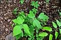 Poison ivy-20141524-038.jpg