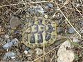 Pokrvenik - Lake Prespa - tortoise - P1100570.JPG