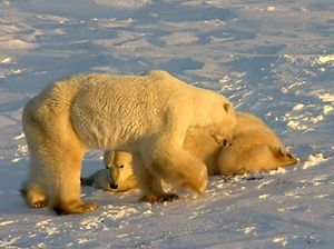 Polar Bears at Cape Churchill (Wapusk National...