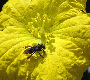 Stingless bee - Unidentified Meliponini bee (probably Trigona spinipes), covered with pollen, visiting a flower of the vegetable sponge gourd (Luffa cylindrica) in Campinas, Brazil