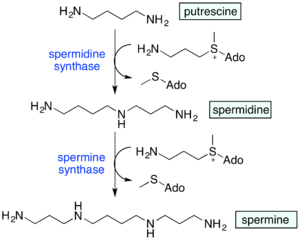 Polyamine - Biosynthesis of spermidine and spermine from putrescine. Ado = 5'-adenosyl.