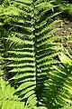 Polystichum setiferum kz2.jpg