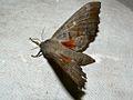 Poplar Hawk-moth (Laothoe populi) (8336241107).jpg