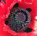 Poppy close up.jpg