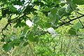 Populus alba branch.jpg
