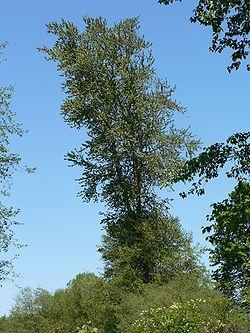 Populus trichocarpa 05897.JPG
