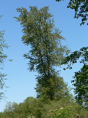 Populus trichocarpa - Black cottonwood