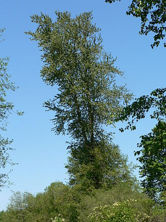 Populus trichocarpa - Black cottonwood