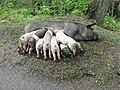 Porc avec petit porcelets - panoramio.jpg