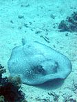 Porcupine ray red sea.jpg
