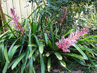 Portea petropolitana - Portea Petropolitana growing in shade.
