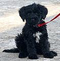 PortugiesischerWasserhund-LindoDaEstrelaDoMar (cropped).jpg