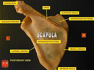 Infraspinatous fossa - Left scapula. Dorsal surface. Infraspinatous fossa labeled at center.