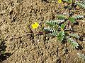 Potentilla anserina (subsp. anserina) sl8.jpg