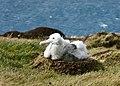 Poussin de grand albatros au nid (septembre 2012) - panoramio.jpg