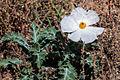 Prickly Poppy-Argemone Polyanthemos-Bar Lake State Park Colorado-20141004.jpg