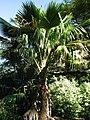 Pritchardia waialealeana (4762295492).jpg