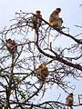 Proboscis monkeys sitting in a tree.JPG