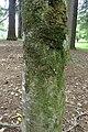 Prunus lusitanica kz01.jpg